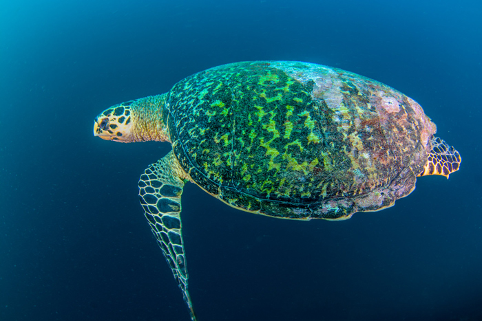 hawksbill-turtle-in-the-blue